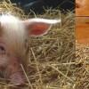 Brawurowa ucieczka świnki