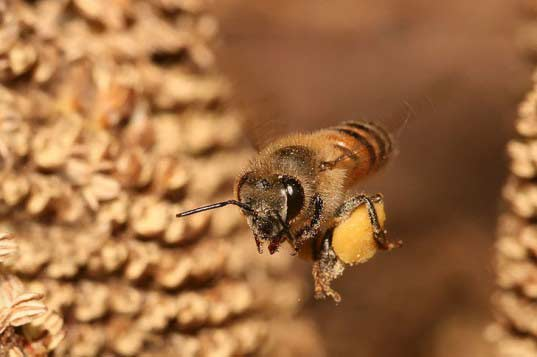 pszczola1