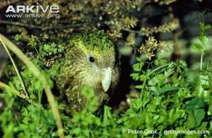 ARKive - samica papugi kakapo