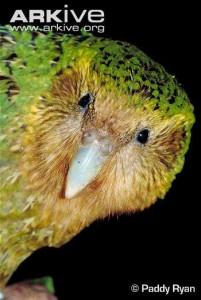 ARKive - kakapo papuga
