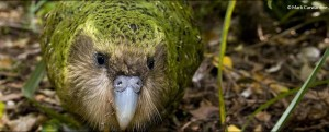 ARKive - papuga kakapo