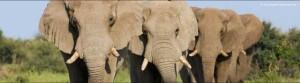 ARKive - słoń afrykański