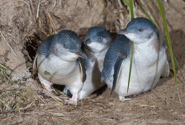 Pingwinek mały