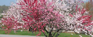 Różnokolorowe drzewo brzoskwiniowe