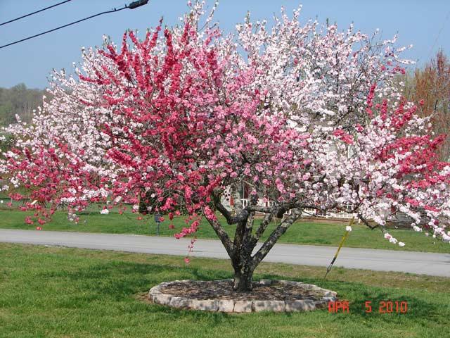Drzewo brzoskwinowe