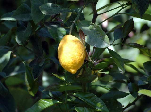 Cytryna na drzewie