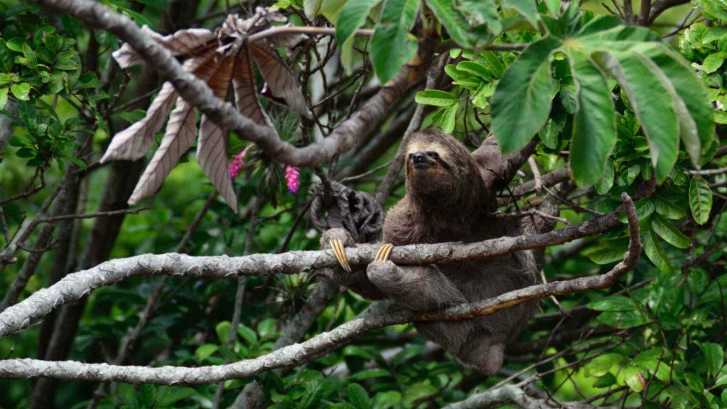 Leniwiec trójpalczasty na drzewie